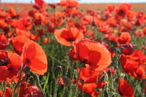beautiful landscape with red poppies
