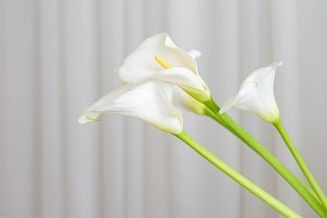 calla lily plant flowers on a white fabric background