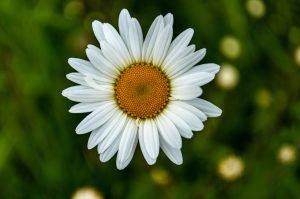 closeup shot of a beautiful oxeye daisy flower
