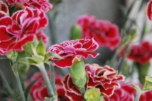 closeup shot of a beautiful pink carnation flower outdoors during daylight