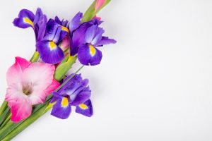 top view of dark purple and pink color iris and gladiolus flowers isolated on white background with copy space